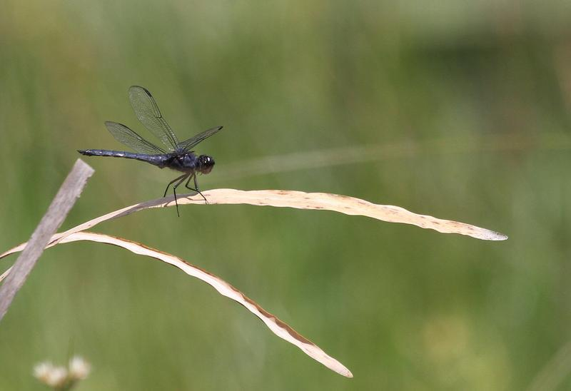 Photo of Slaty Skimmer