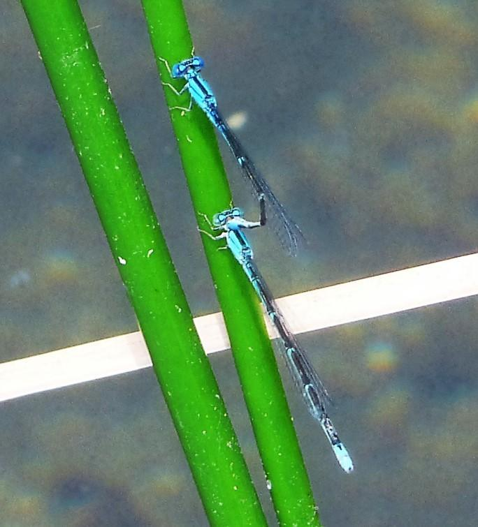 Photo of Slender Bluet