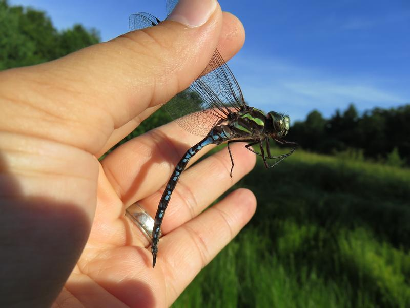 Photo of Green-striped Darner