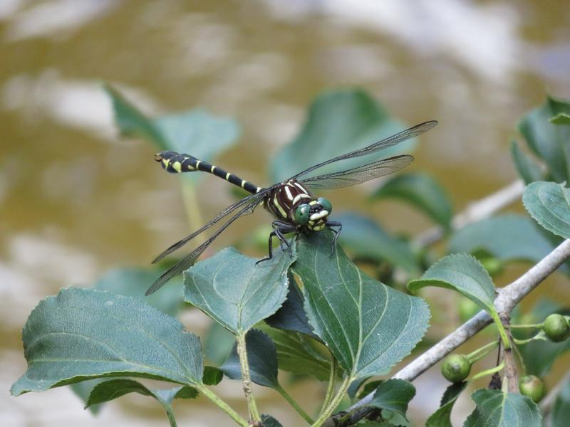 Photo of Zebra Clubtail