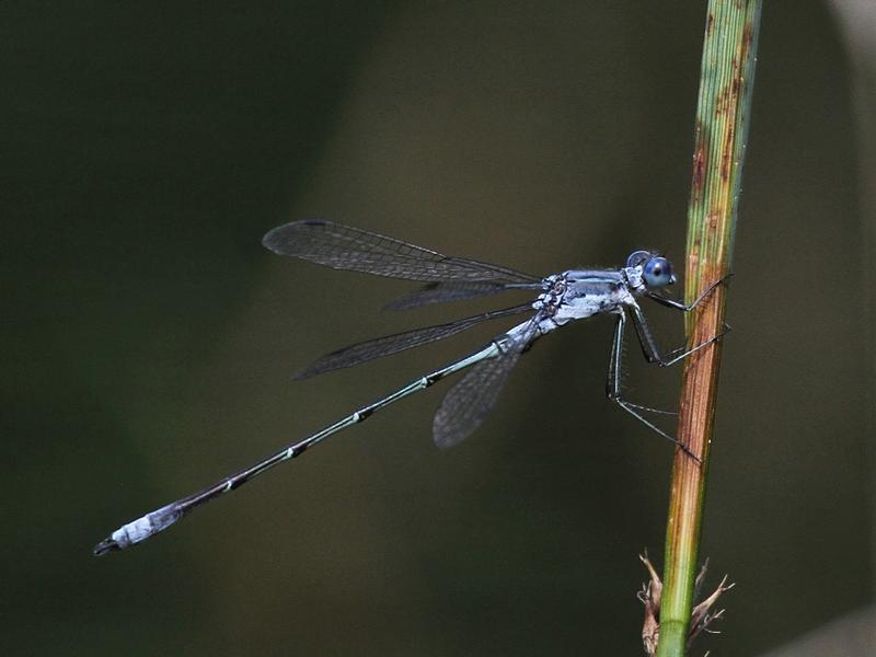 Photo of Northern Spreadwing