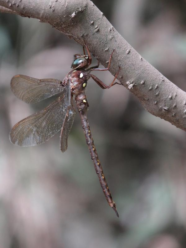 Photo of Fawn Darner