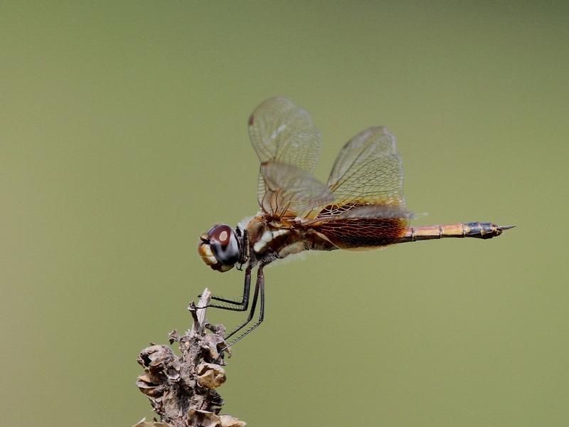 Photo of Striped Saddlebags