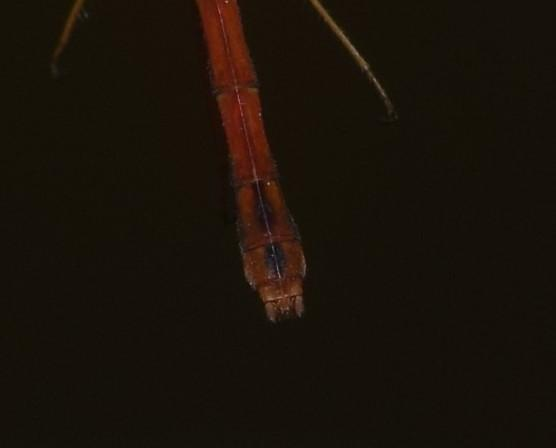 Photo of Autumn Meadowhawk
