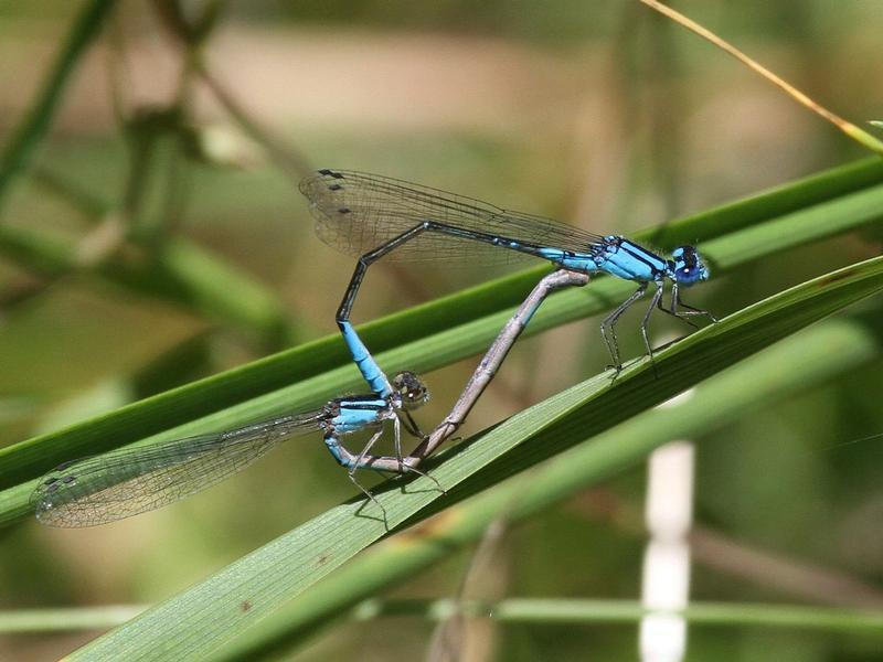 Photo of Azure Bluet