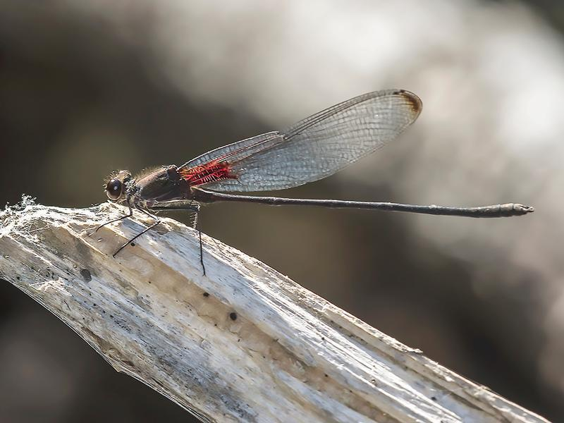 Photo of Smoky Rubyspot