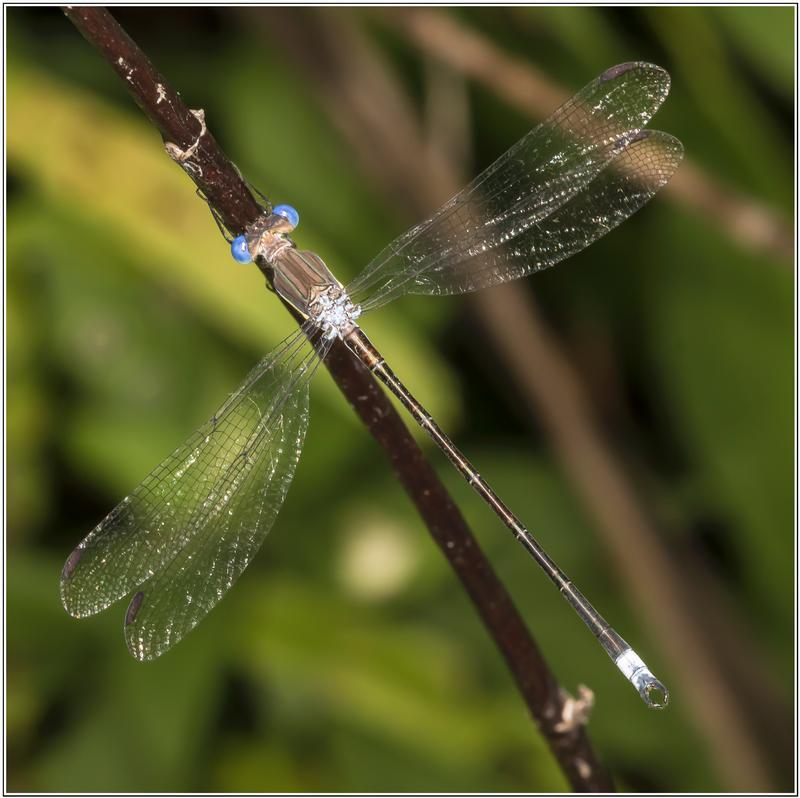 Photo of Great Spreadwing