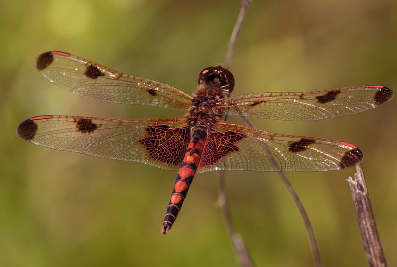 Photo of Calico Pennant