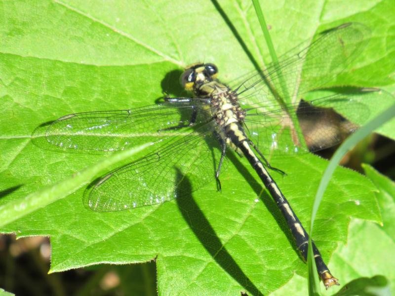 Photo of Lilypad Clubtail