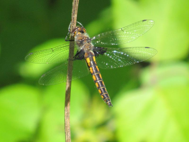 Photo of Common Baskettail