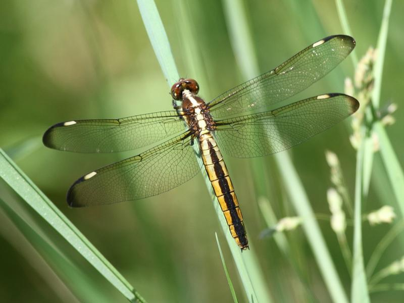 Photo of Spangled Skimmer