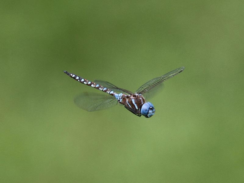 Photo of Blue-eyed Darner