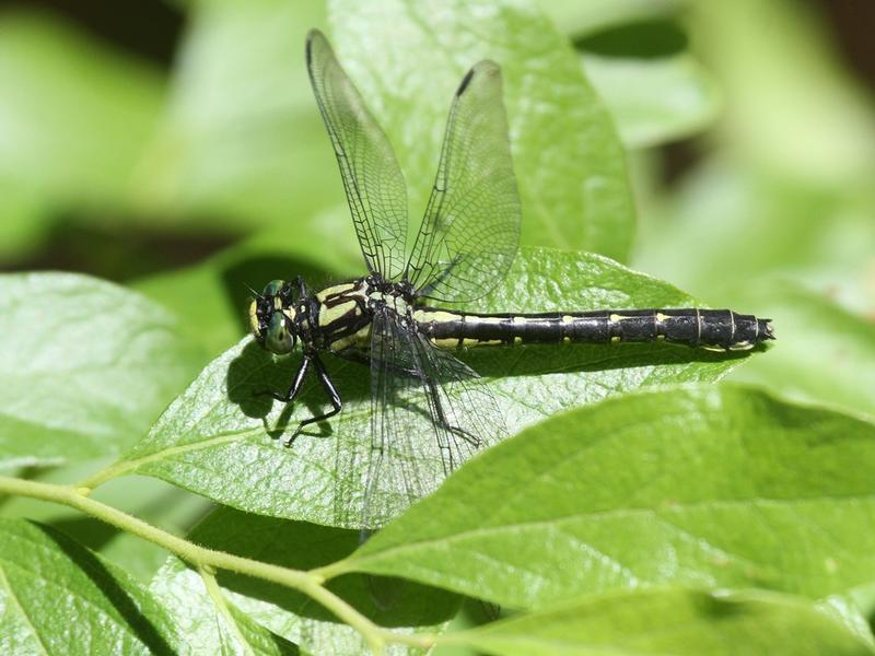Photo of Mustached Clubtail