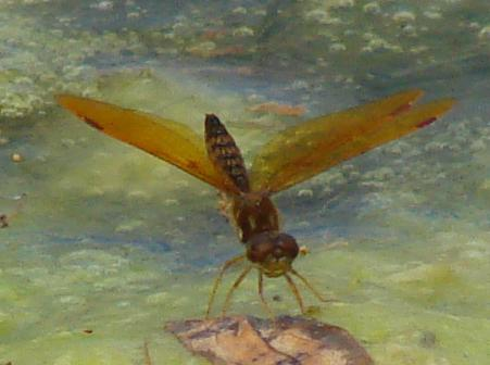 Photo of Eastern Amberwing