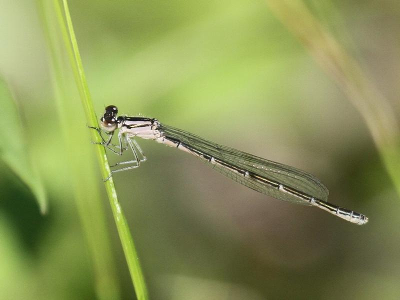Photo of Hagen's Bluet