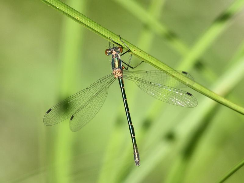 Photo of Emerald Spreadwing