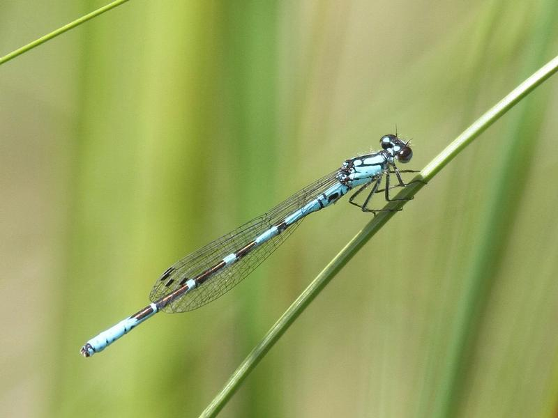 Photo of Subarctic Bluet