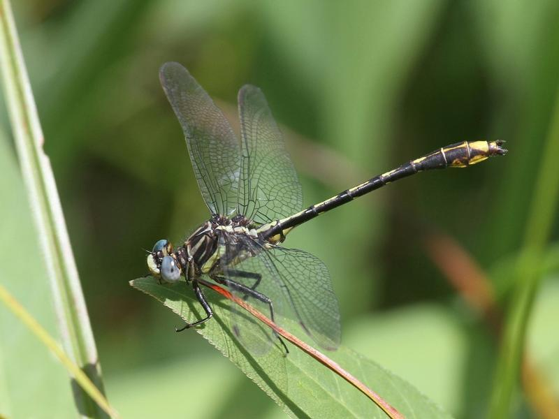 Photo of Lancet Clubtail