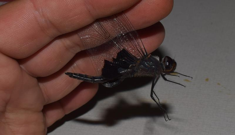 Photo of Black Saddlebags