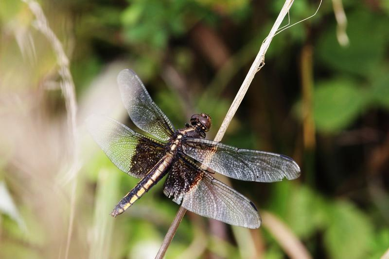 Photo of Widow Skimmer