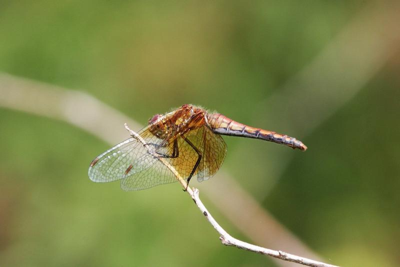 Photo of Band-winged Meadowhawk