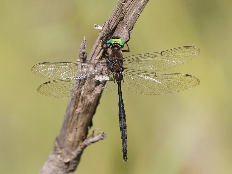 Photo of Williamson's Emerald