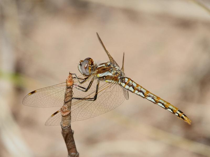 Photo of Variegated Meadowhawk
