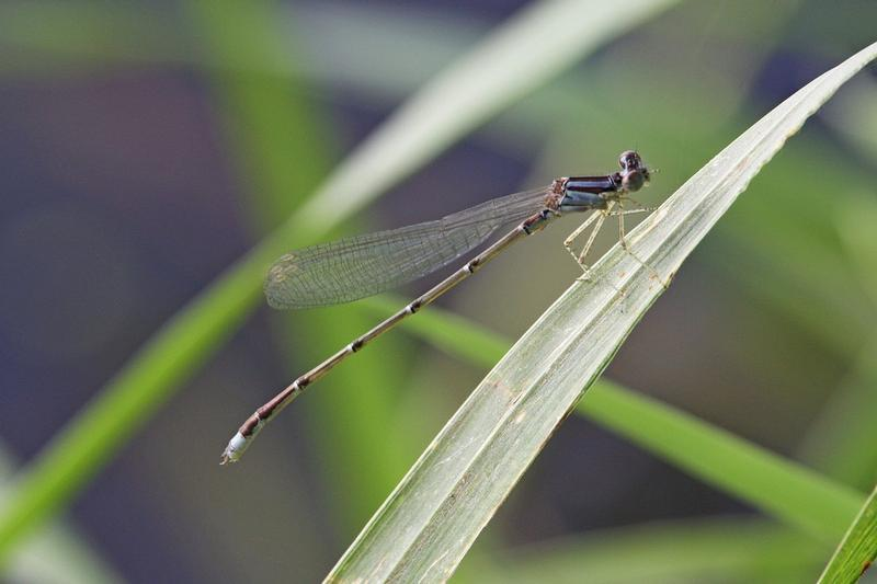 Photo of Orange Bluet