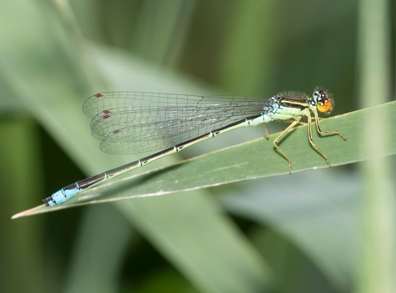Photo of Rainbow Bluet