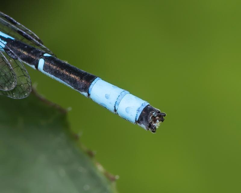 Photo of Marsh Bluet