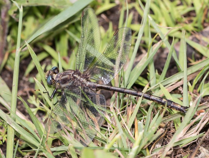 Photo of Dusky Clubtail