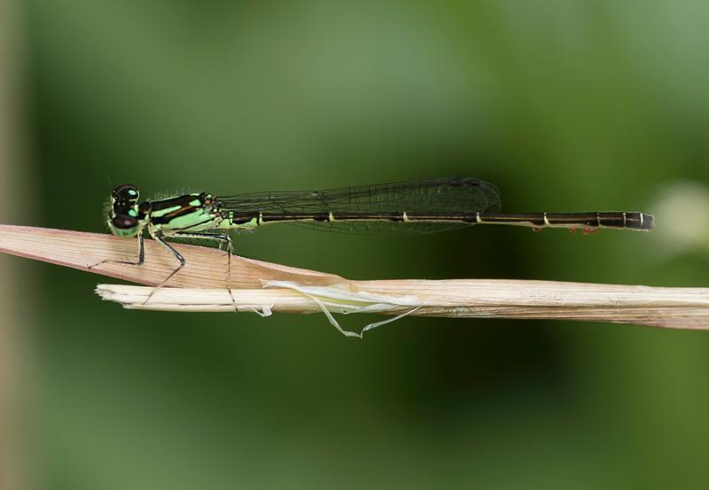 Photo of Fragile Forktail