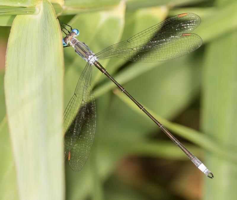 Photo of Swamp Spreadwing