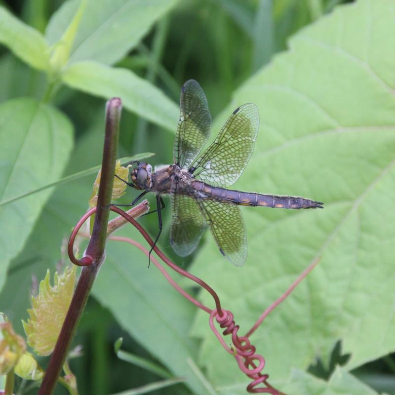 Photo of Beaverpond Baskettail
