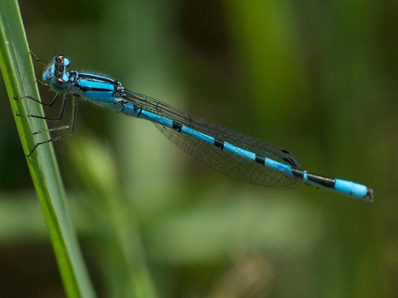 Photo of Northern Bluet