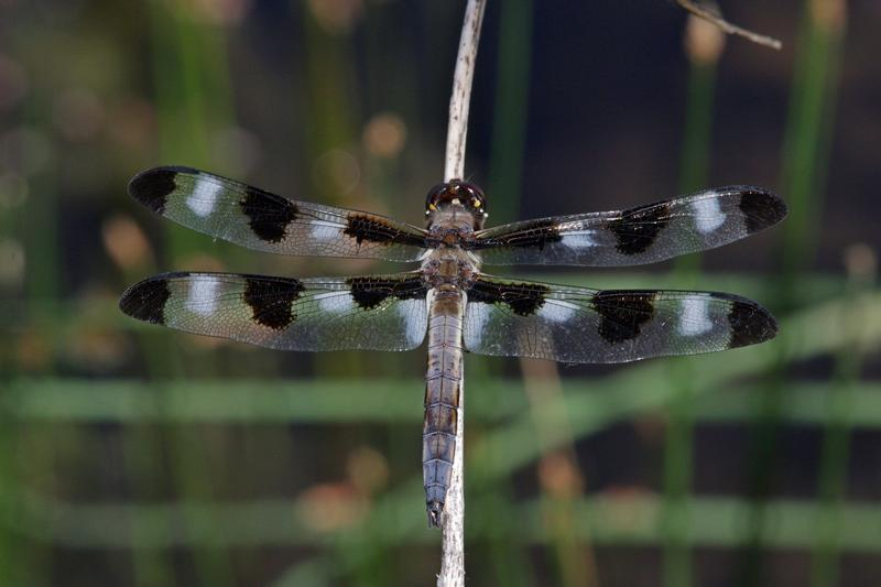 Photo of Twelve-spotted Skimmer