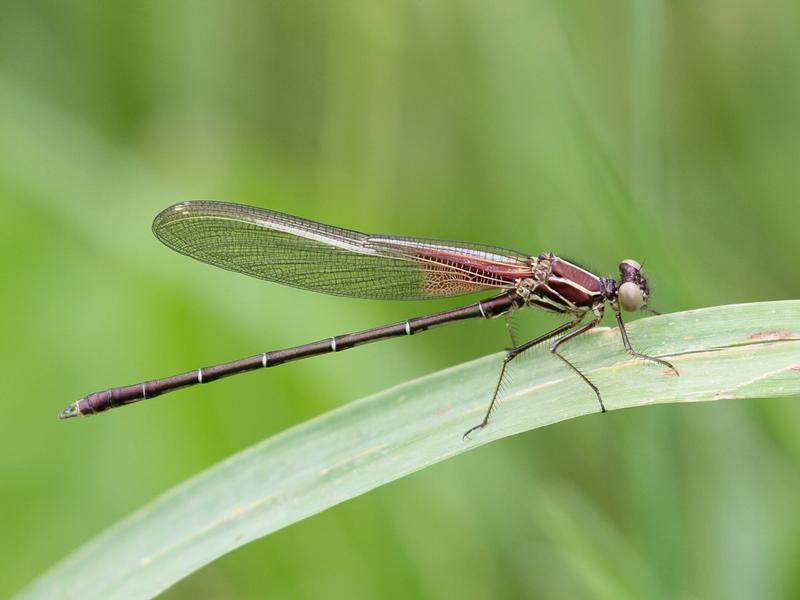 Photo of American Rubyspot