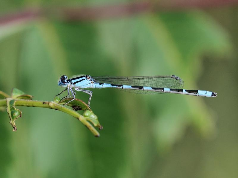 Photo of Tule Bluet