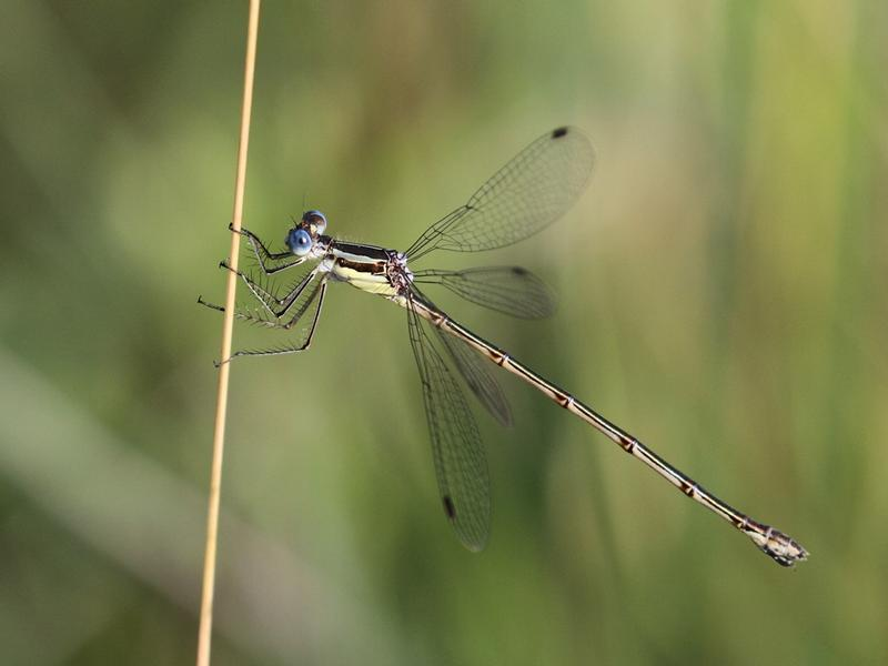 Photo of Slender Spreadwing