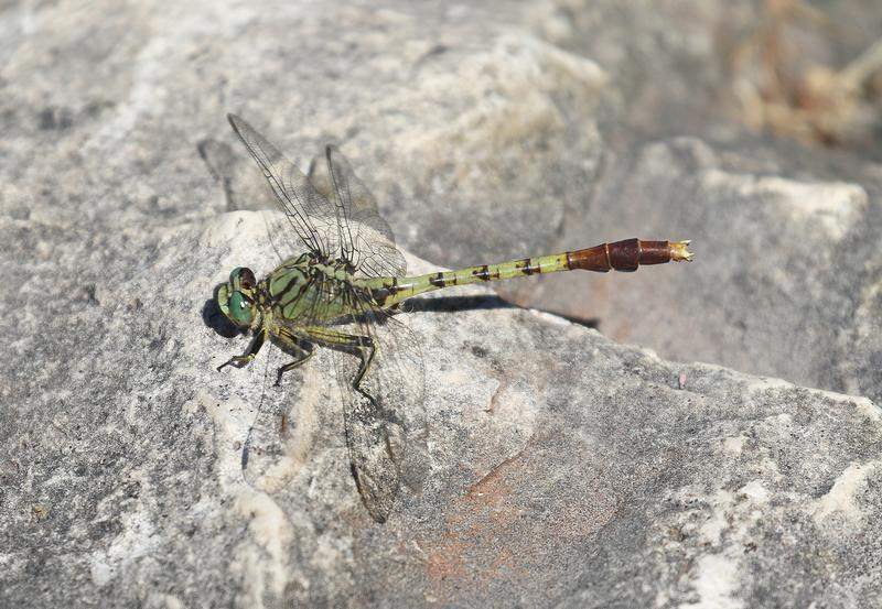 Photo of Jade Clubtail