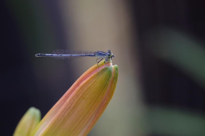Photo of Eastern Forktail