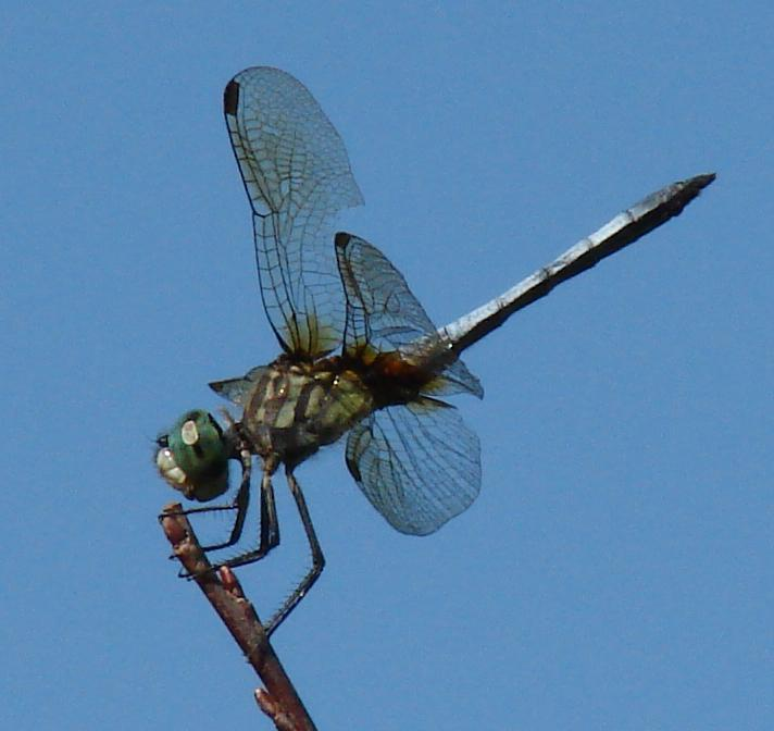 Photo of Blue Dasher