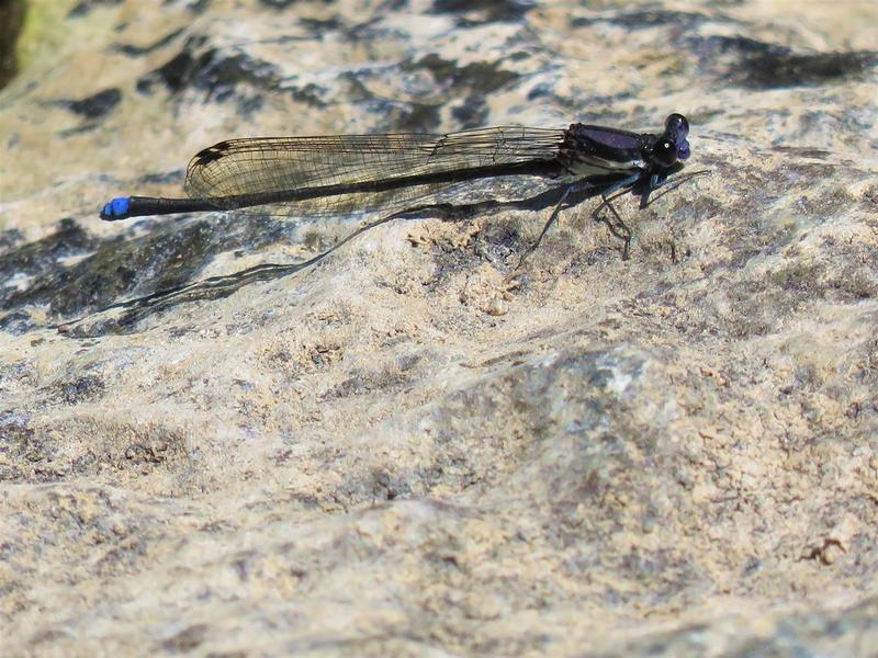 Photo of Blue-tipped Dancer
