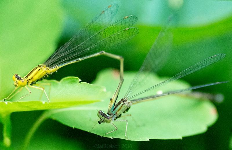 Photo of Vesper Bluet