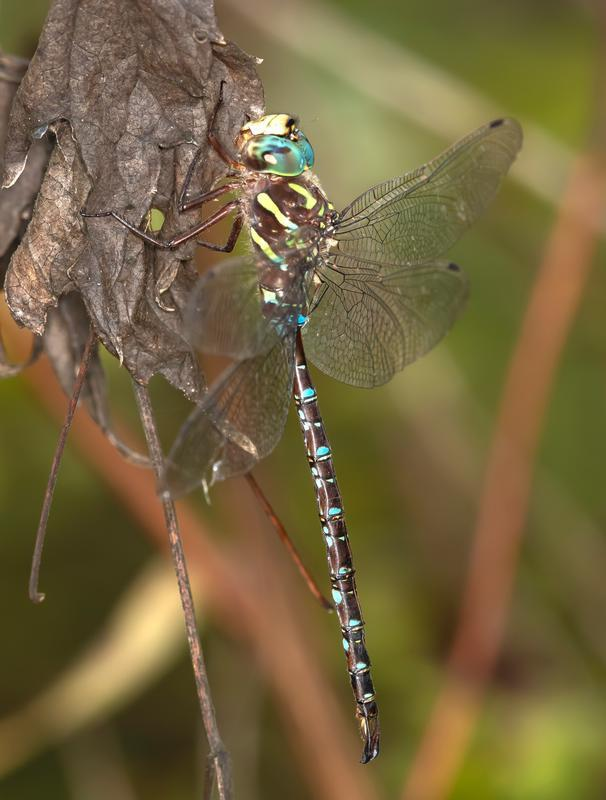 Photo of Shadow Darner