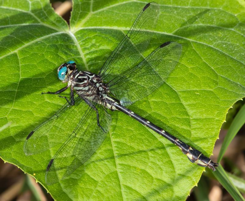 Photo of Elusive Clubtail