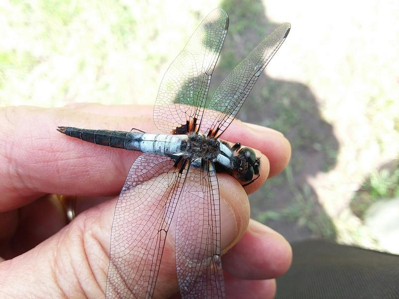 Photo of Chalk-fronted Corporal
