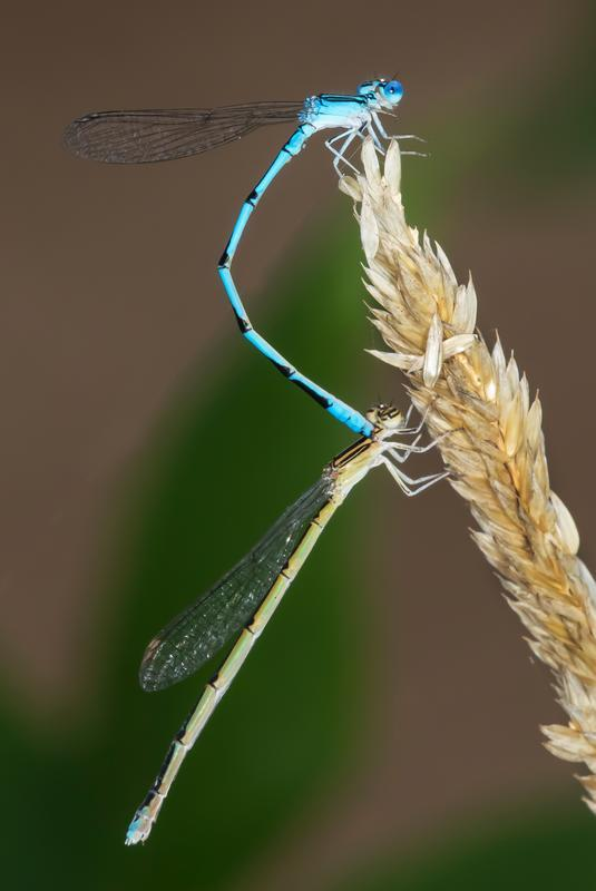 Photo of Double-striped Bluet
