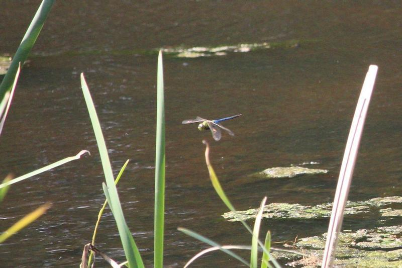 Photo of Common Green Darner