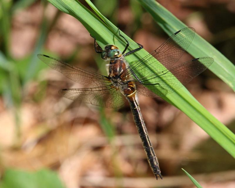 Photo of American Emerald